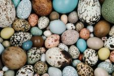 Wild bird eggs come in an array of colors.